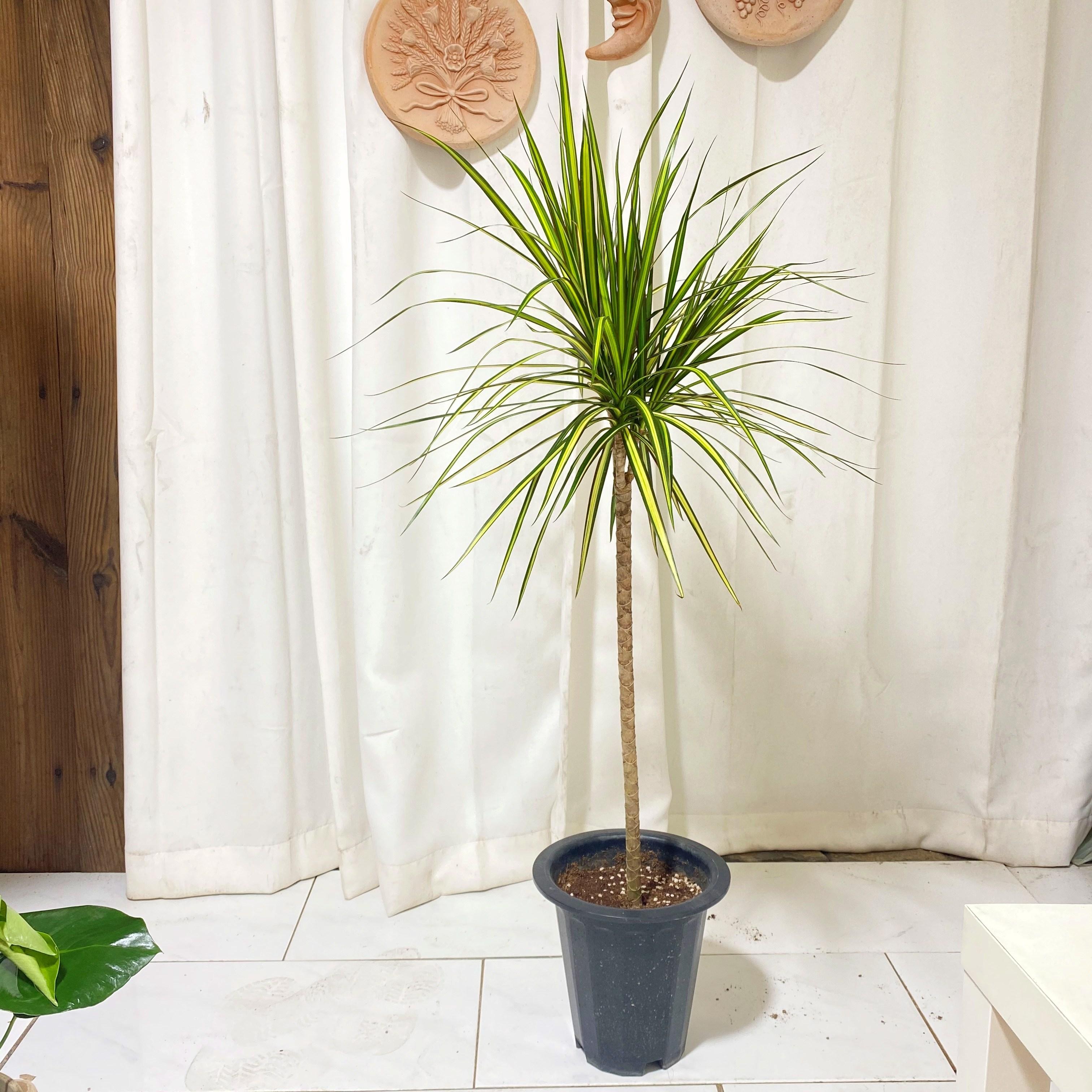 청년농부 초특가 외목 드라세나 마지나타 2가지형 택1 인테리어식물