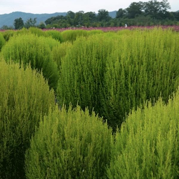 복남이네야생화 일년생-코키아 홍댑싸리 여름초록가을붉은 [4포트] (8cm포트 꽃댑싸리 그린 레드 모종)