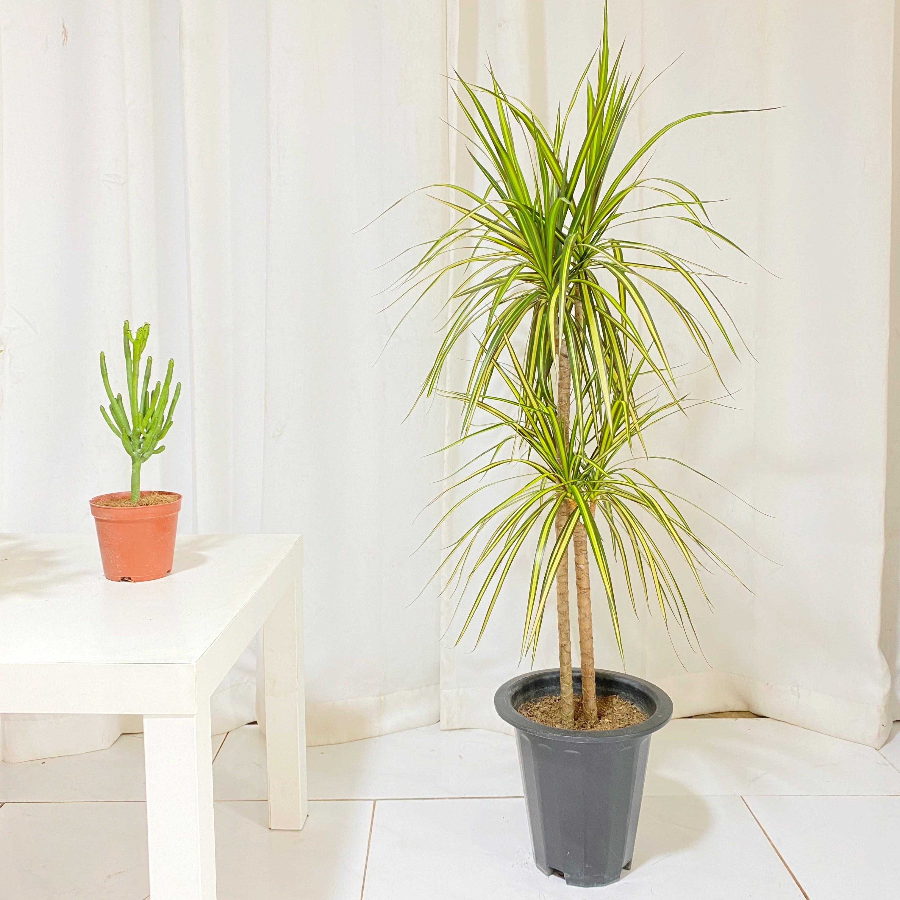 청년농부 노랑 드라세라 마지나타 나무 식물 중형식물 인테리어식물