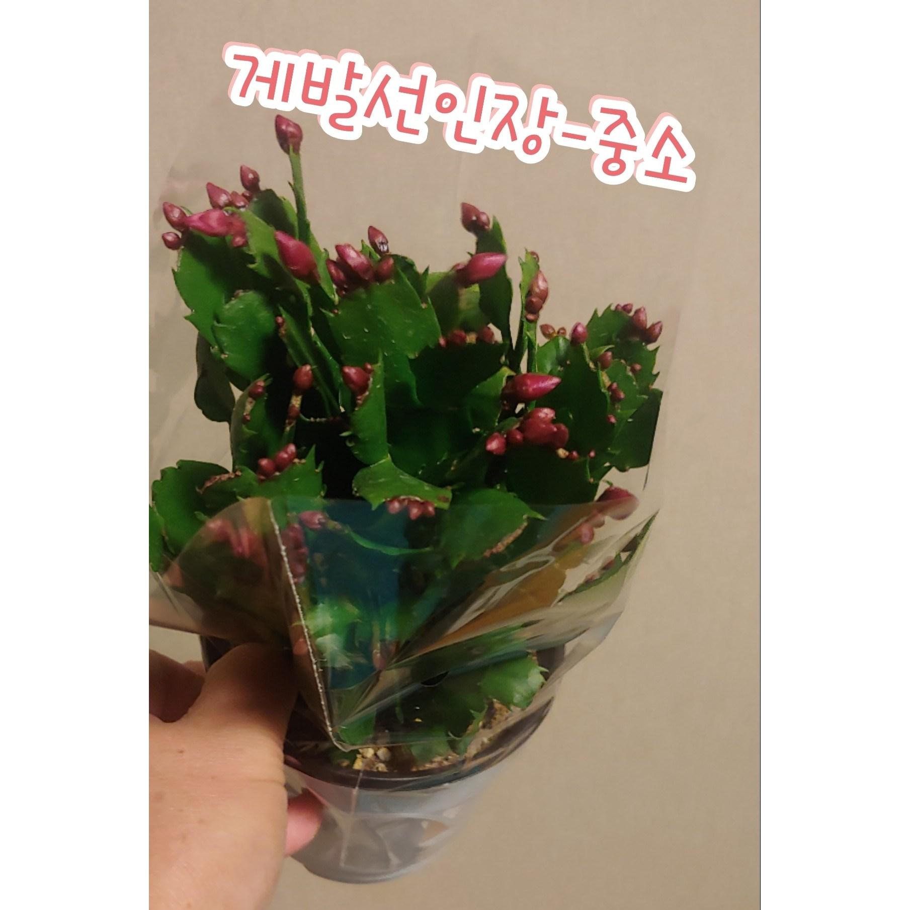 꽃나라엘리스 게발선인장-중소/겨울에 꽃을 피우기에 크리스마스선인장
