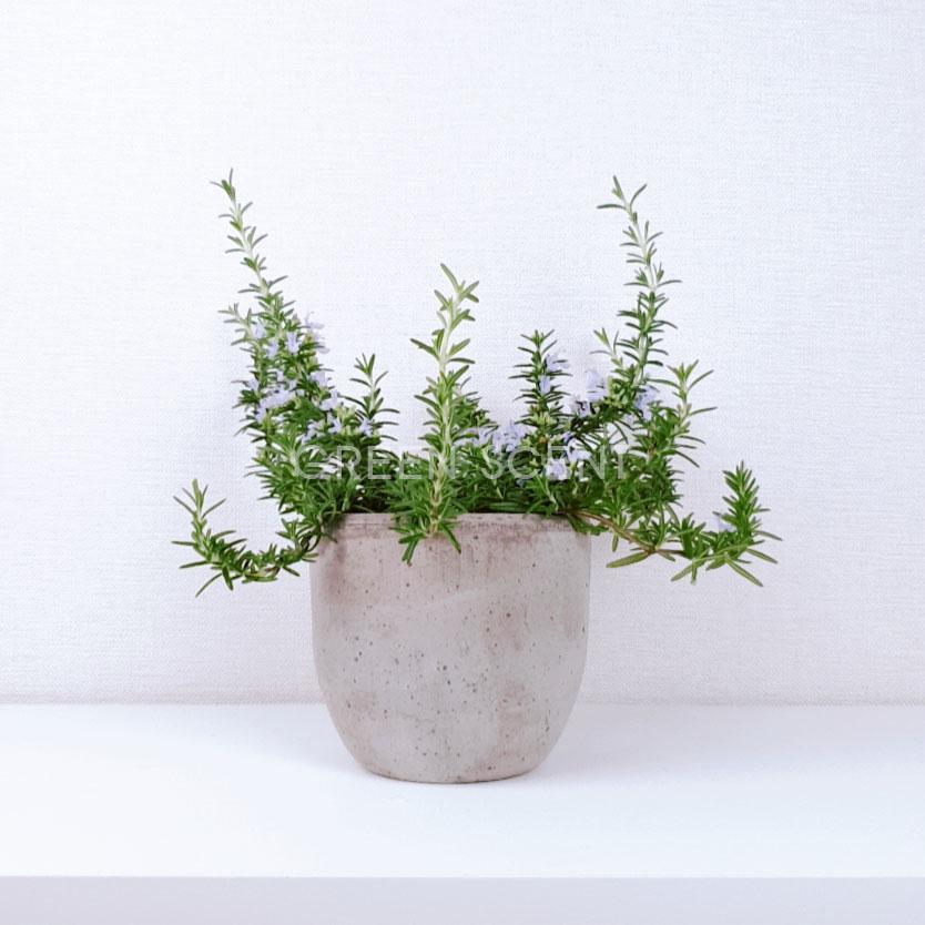 꽃피는 클리핑 로즈마리 키우기 거실인테리어식물 실내공기정화식물, 모종화분