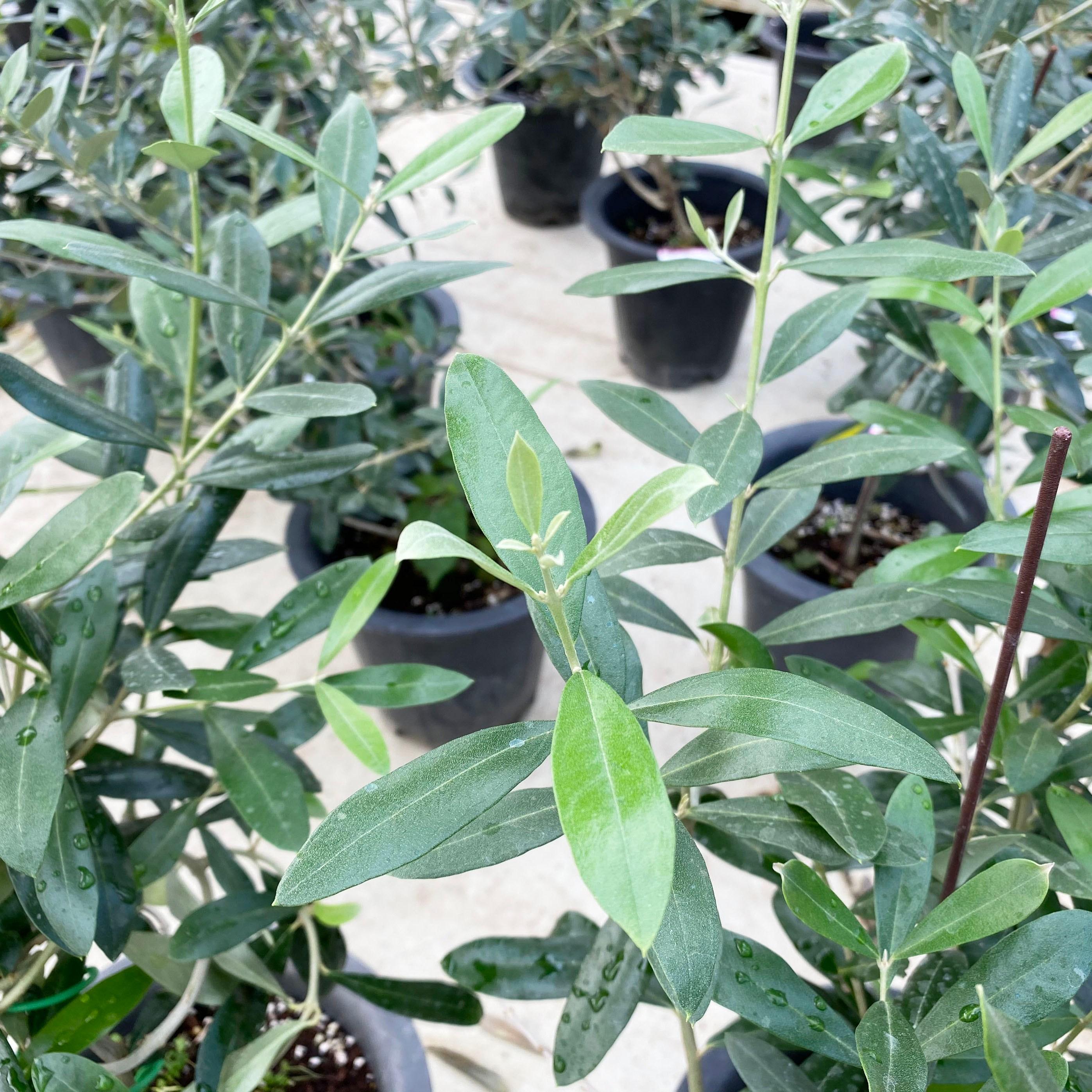 미니농장 올리브나무 대품 인테리어 식물