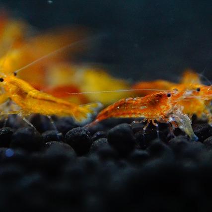 [하비아쿠아] 선키스트 (오렌지) 새우10마리 생이새우 관상용새우, 1개