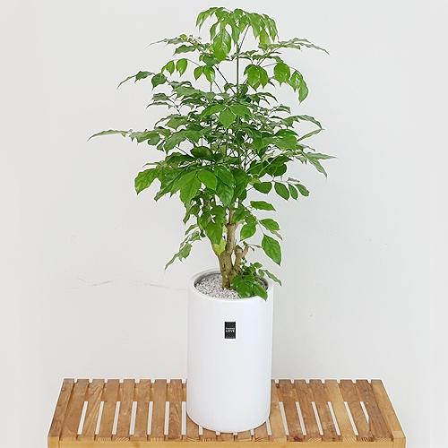 햇살농장 중대형 공기정화 식물 화분, 녹보수, 1개