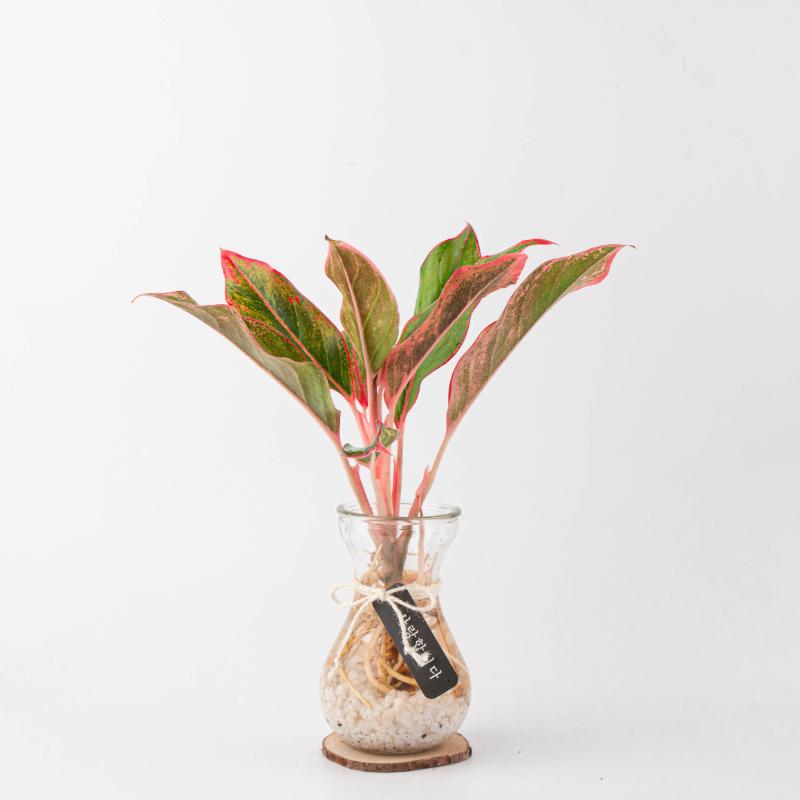 나루플랜트 수경재배식물 건강한 21종 식물 모음, 6.오로라