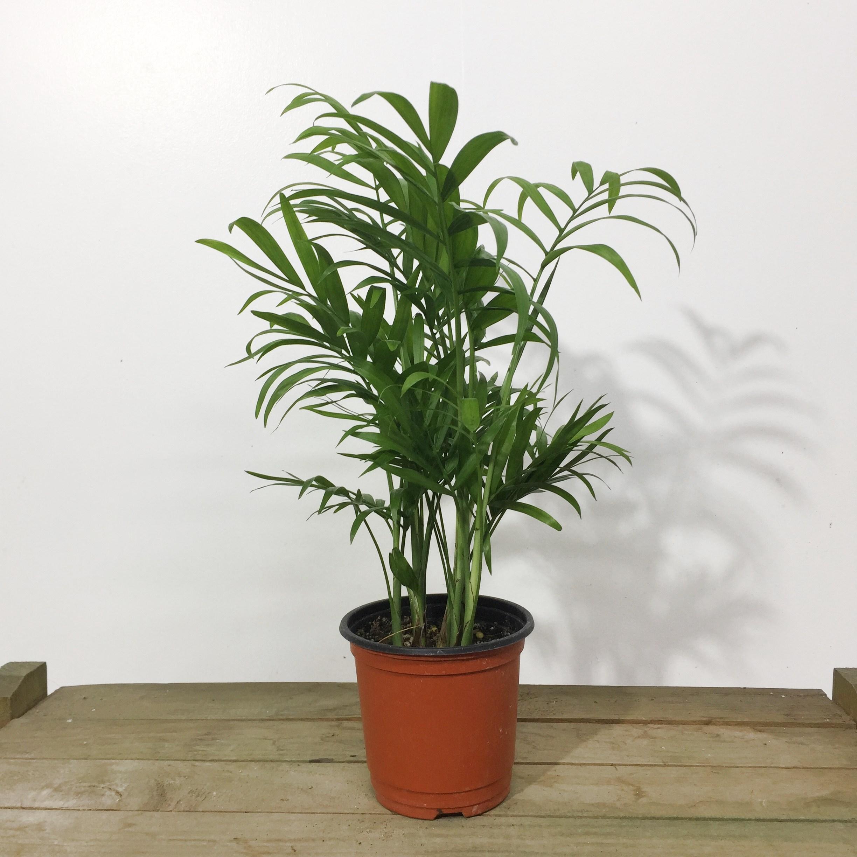 테이블야자 소품 공기정화식물 공기청정식물