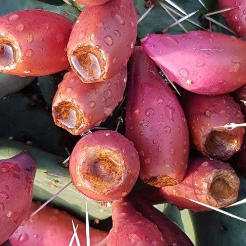 손바닥선인장 왕가시 천년초 열매, 1박스, 3kg