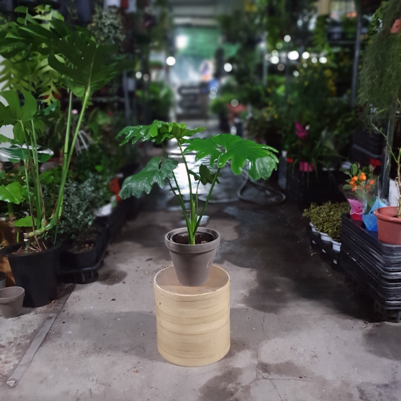 식물 공장 호프셀렘 셀럼 중품 수입식물 신상품 미세먼지제거식물 플랜테리어 실내공기정화식물 79S