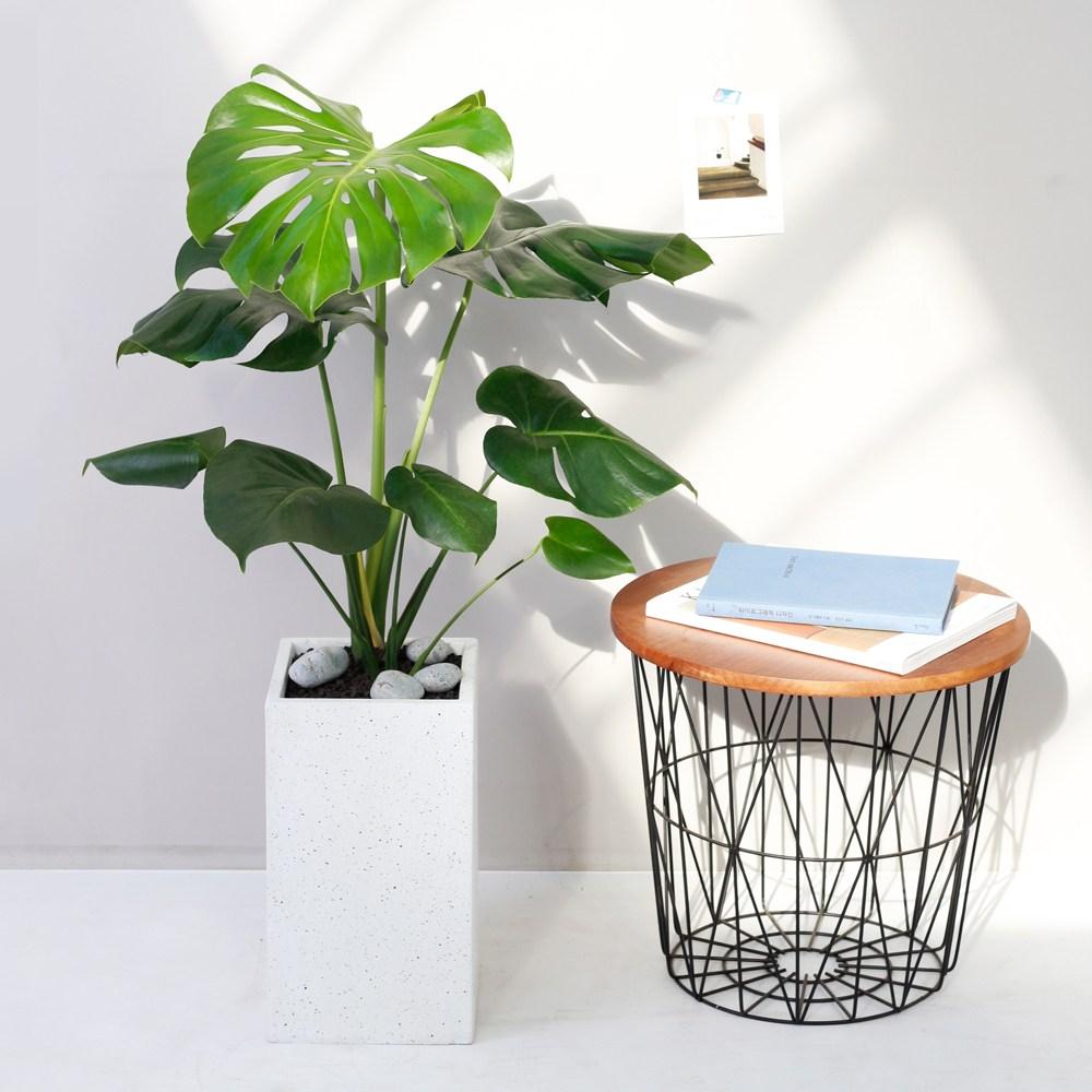 아침향기 공기정화식물 대형화분 FRP 화기 화분 - 몬스테라, FRP 화이트 몬스테라, 1개