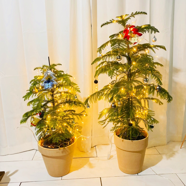 청년농부 아라우카리아 이태리토분 식재완료 완제품 트리나무 크리스마스트리, 중형