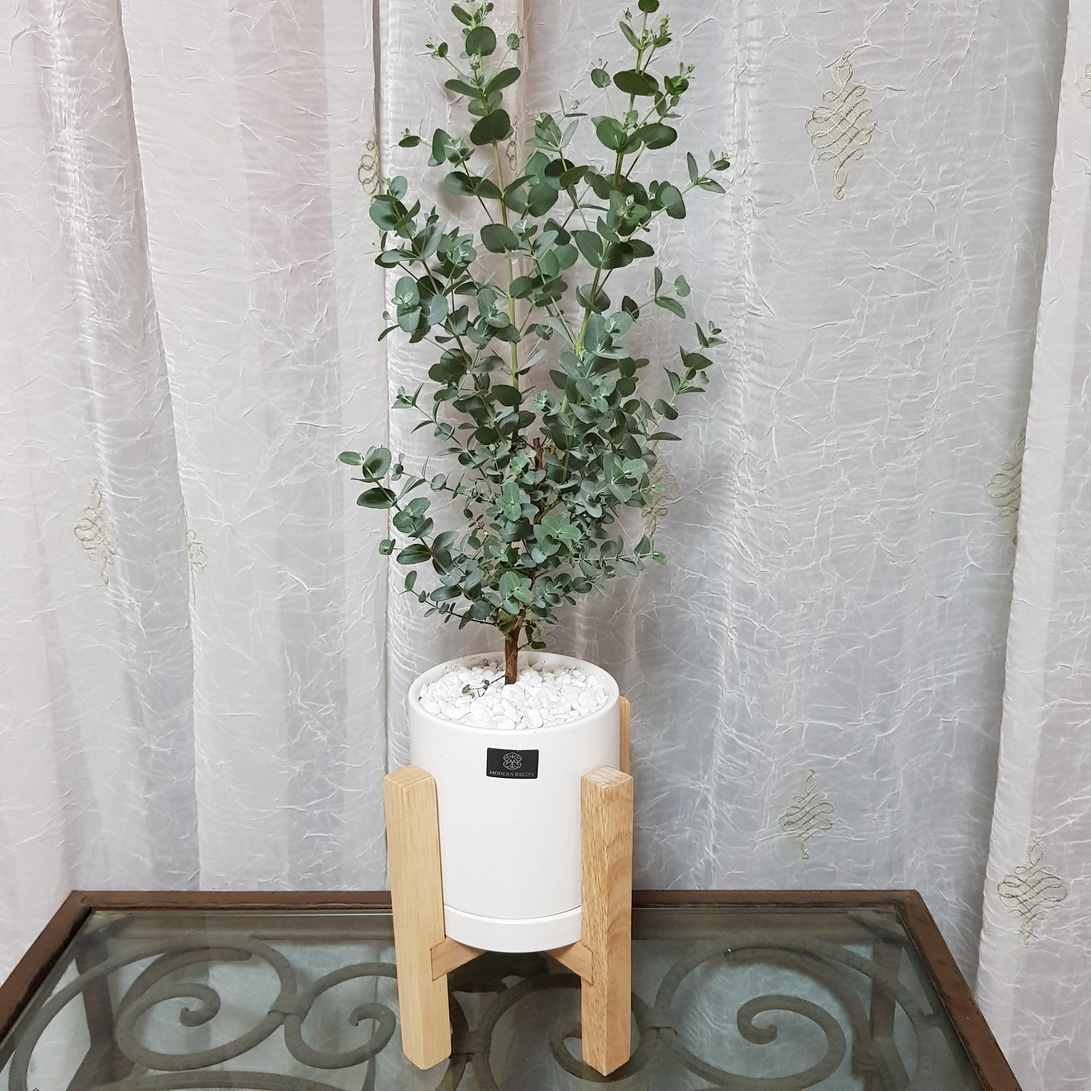베스트플랜트 공기정화식물 키우기 쉬운 반려식물 소품 우드스탠드, 유칼립투스화이트+우드스탠드
