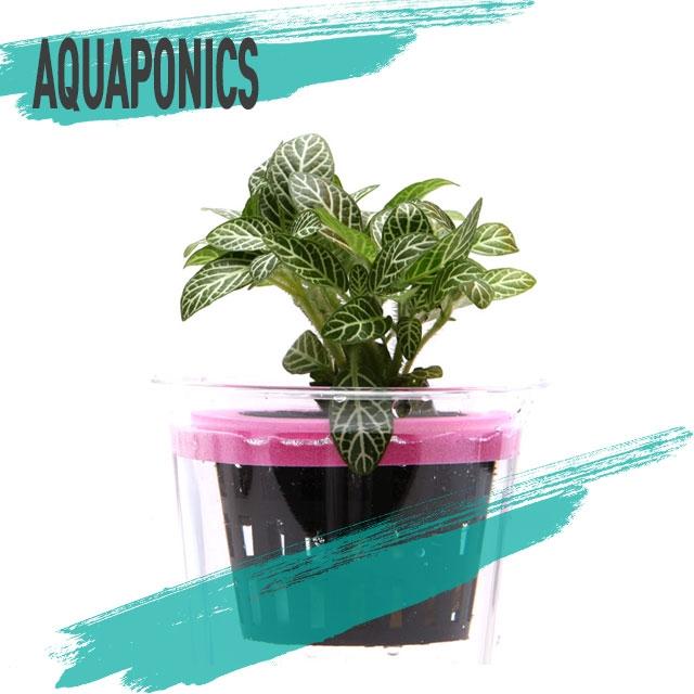 아쿠아물장군 아쿠아포닉스 망포트 휘토니아 수반수초 수상수초 키우기쉬운수초 초보수초 수경재배, 1개