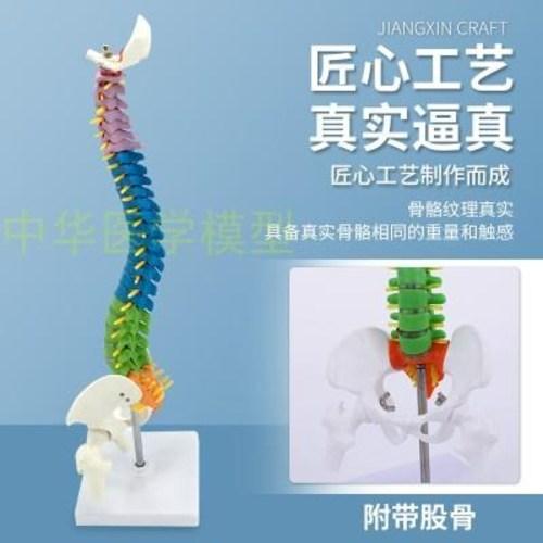 사람 인체 모형 45CM 컬러인체 척추모형 골반계 골반골척추골형 (POP 5156042438)