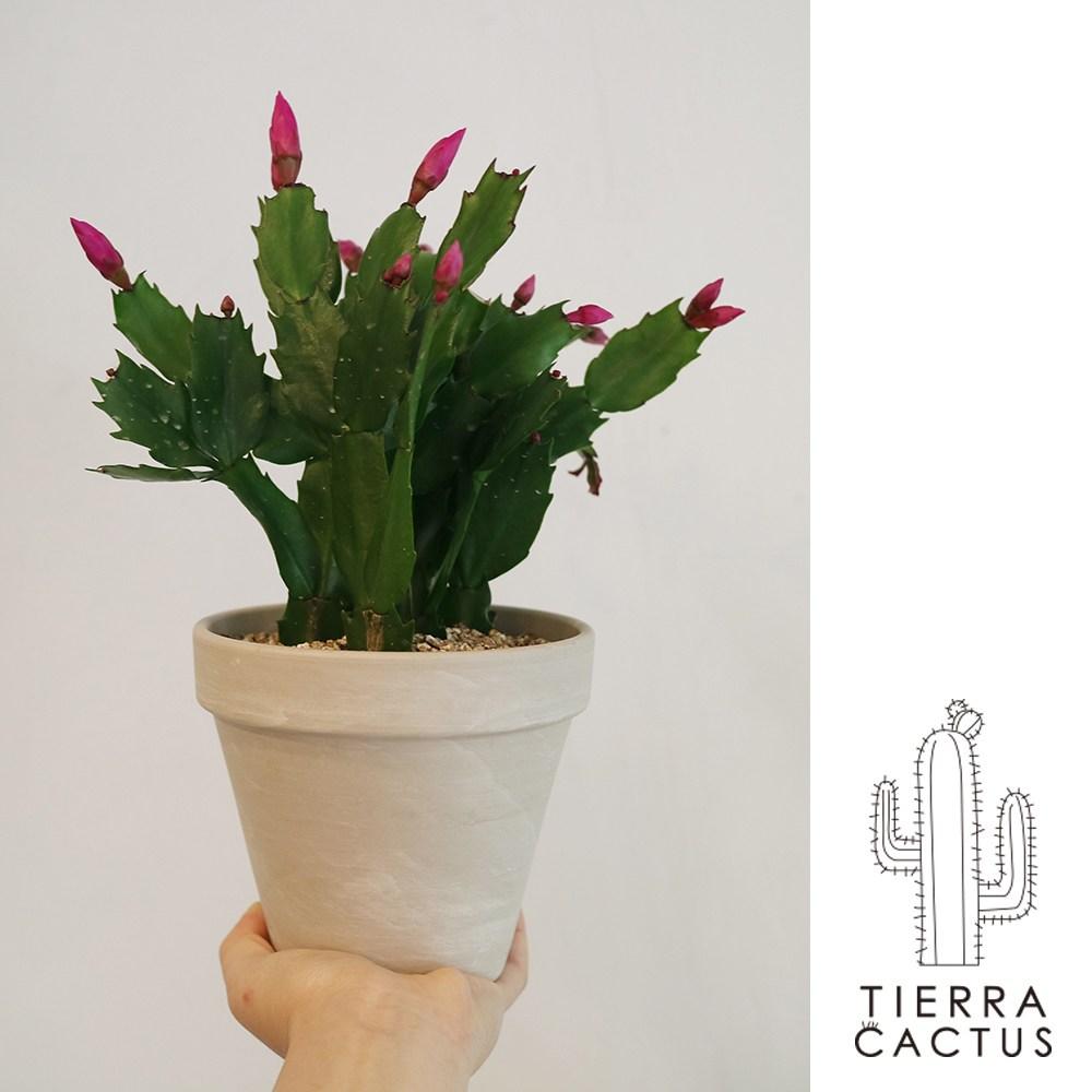 *티에라선인장* [화분포함 완제품] 크고 예쁜 핑크꽃 게발 선인장 - 토분 3color, 화이트 마블 토분 (받침포함)