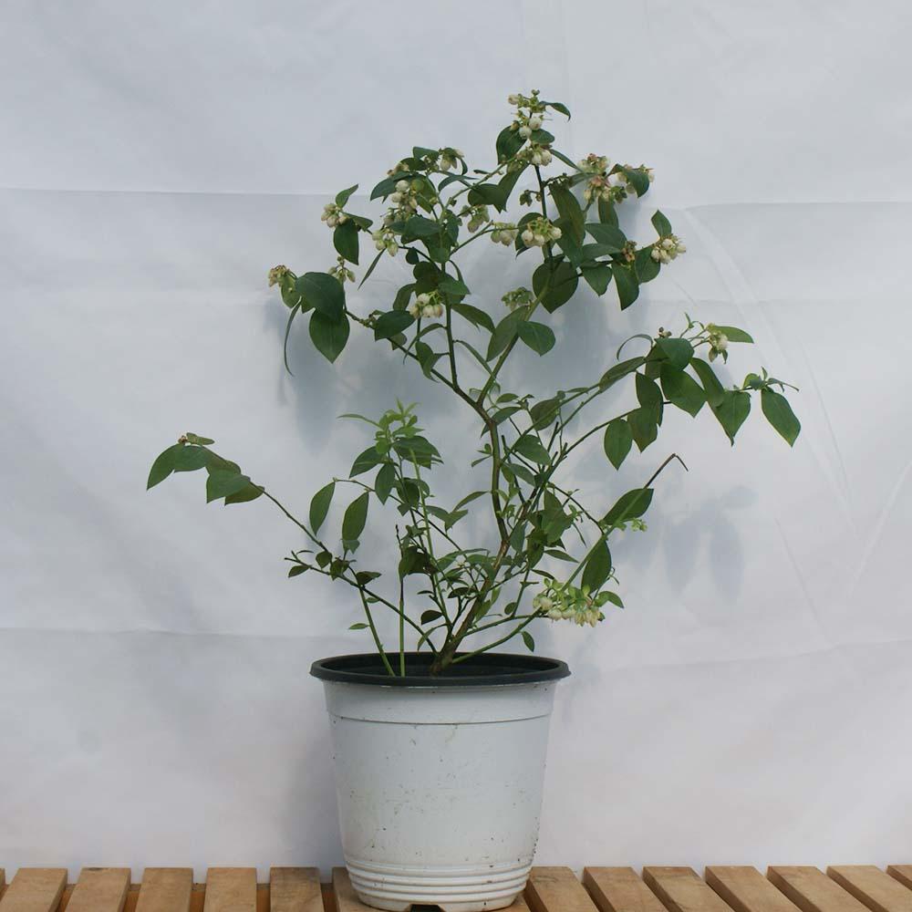 그린피아약초 블루베리 묘목 나무 모종 화분 재배 키우기 결실주 유실수