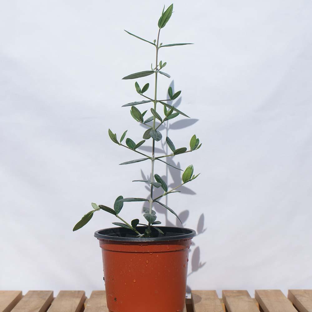 소형 올리브 나무 거실 책상 화분 공기정화식물