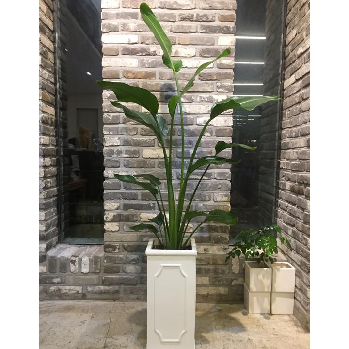 [목요일의 식물] 여인초 특대품 노마주 화분세트 서울전지역 경기일부