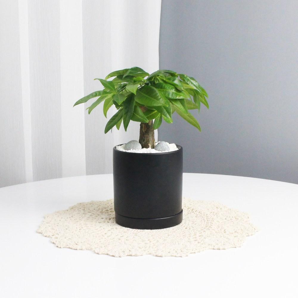 파키라 모던블랙 원형화분 11x12사이즈 집에서키우기쉬운 공기정화식물 사기 빈화분