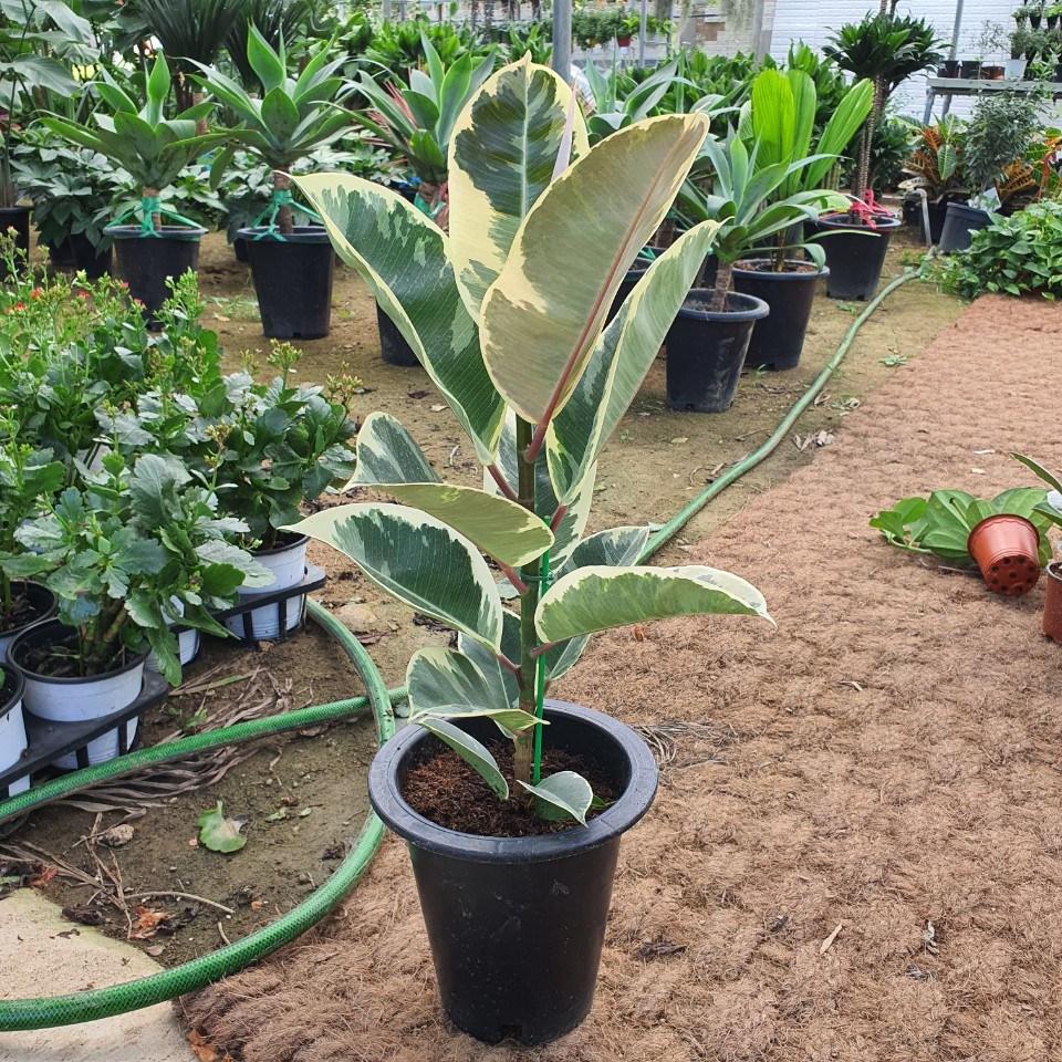 수채화 고무나무 (특)공기정화식물) 인기식물