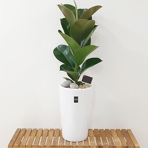 햇살농장 중대형 공기정화식물 인테리어 개업화분, 1개, 1.(중형)고무나무