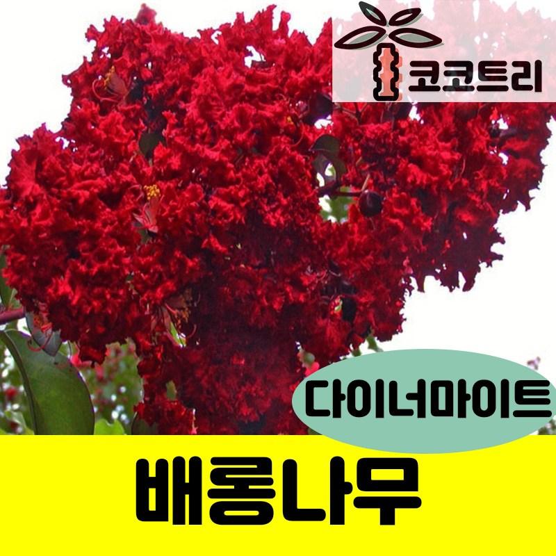 신품종 배롱나무(목백일홍)