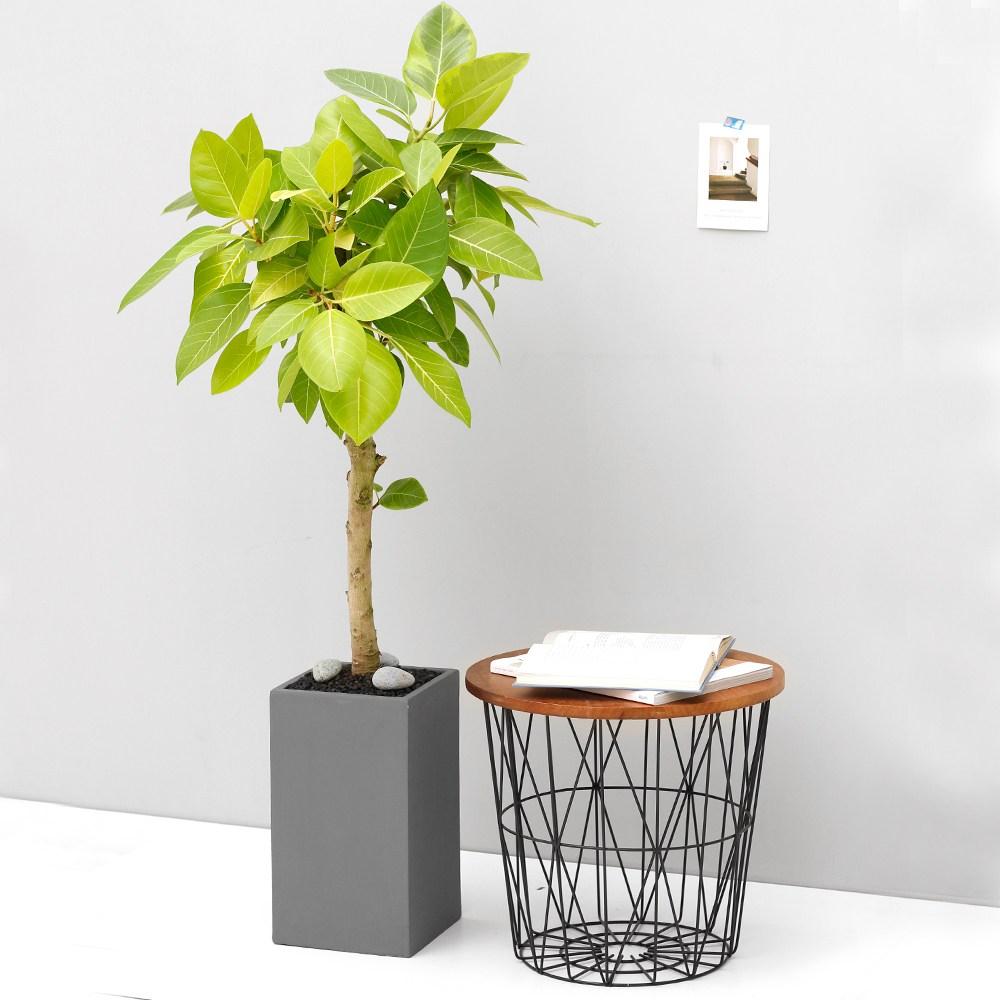아침향기 공기정화식물 대형화분 FRP 화기 화분 뱅갈고무나무, FRP 그레이 뱅갈, 1개