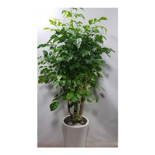 [그린플라워] 녹보수(해피트리) 개업식 당일배송 관엽 공기정화식물 실내식물 집들이, 고급