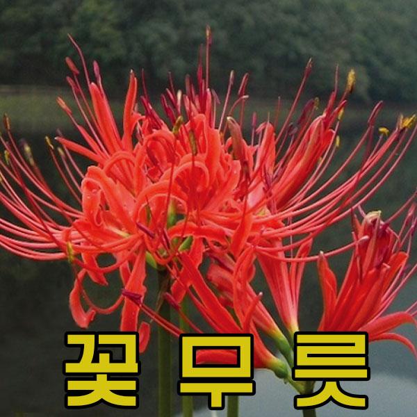 지엘파크 꽃무릇 100본 구근식물 무료배송