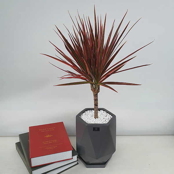 베스트플랜트 레인보우 마지나타 공기정화 식물