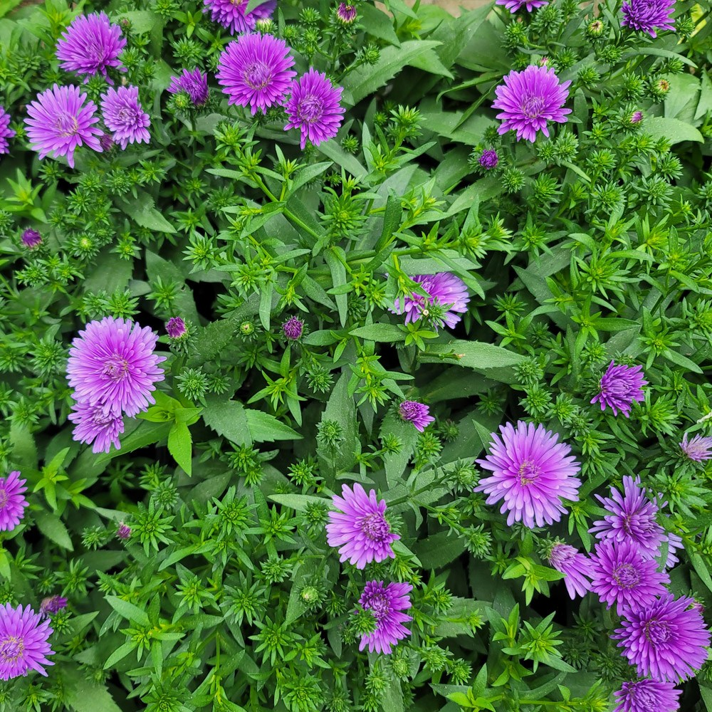 장미농원 야생국화 아스타 꽃 모종 화분 식물, 1개, 아스타화분랜덤