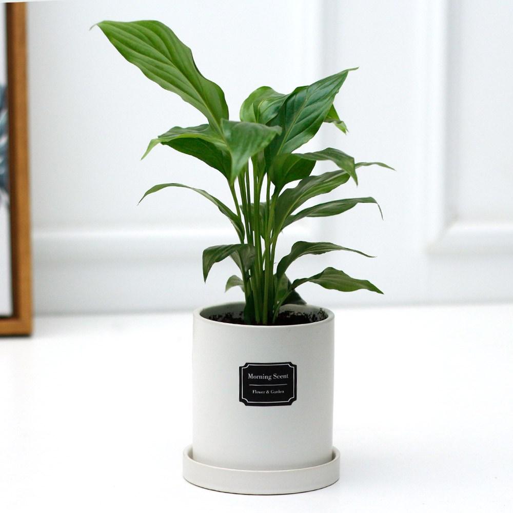 아침향기 공기정화식물 무광 원형화분 [화이트], 1개, (무광원형/화이트)스파트필름