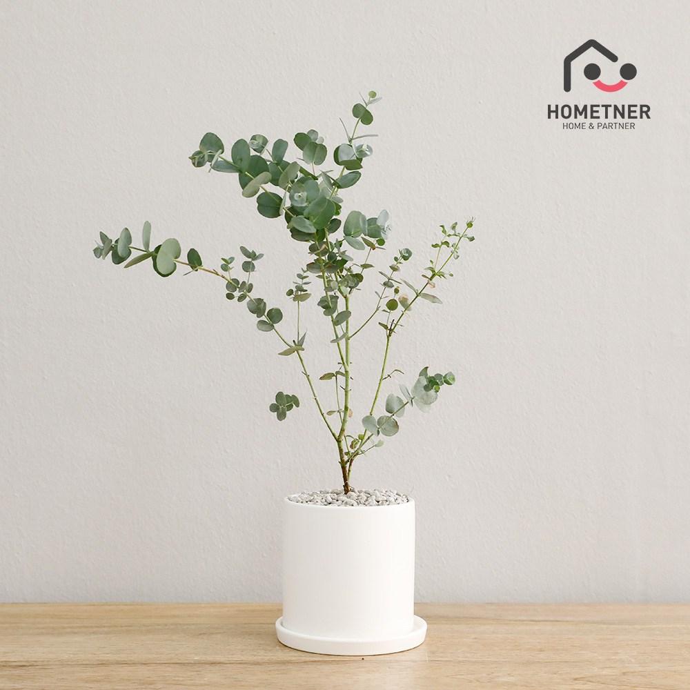홈트너 실내공기정화식물 관엽 인테리어식물, 1Ea, 3_2 유칼립투스 소