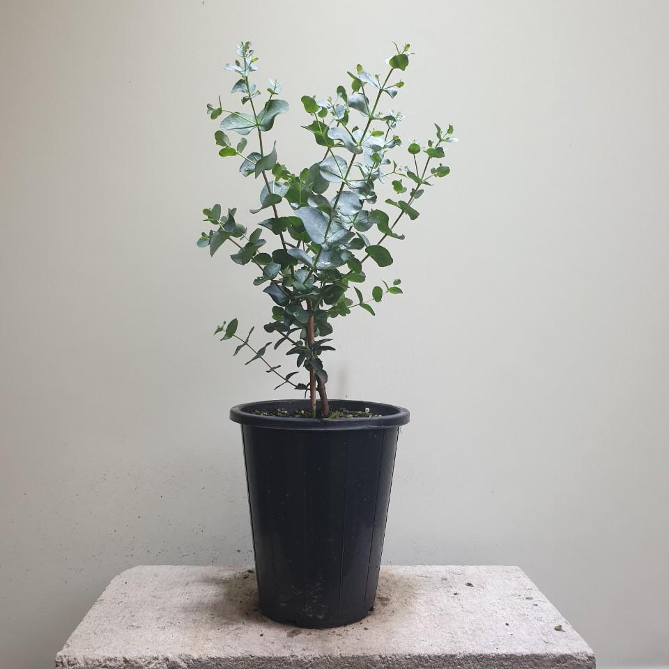 꽃백화점 유칼립투스 종류 랜덤 99