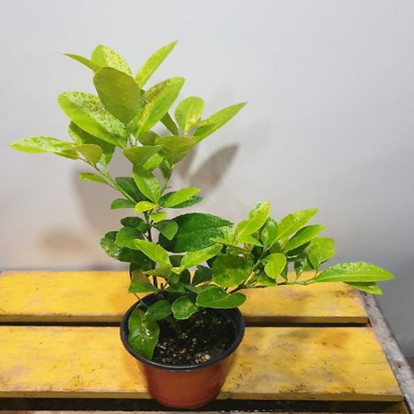 에덴농원 한목대황금레몬나무 ( 10센치) 꽃이 지고나면 열매가 맺어요 (새로입고) 아주 착한가격이에요