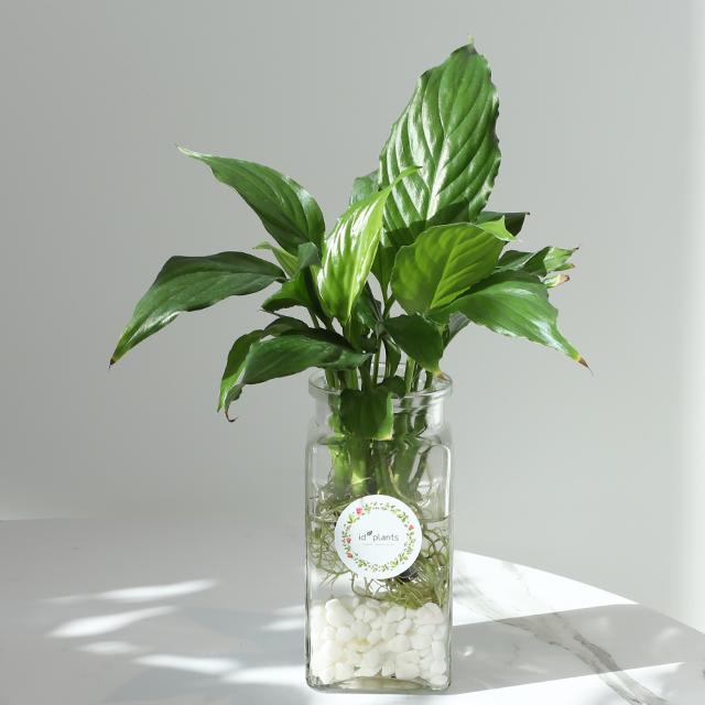 아이디플랜츠 스파티필름 누구나 쉽게 키우는 수경재배식물 01 (공기정화식물 천연가습효과)