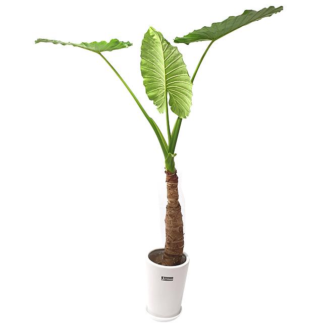 햇살농장 중대형 공기정화식물 인테리어 개업화분, 1개, 12.(대형)알로카시아
