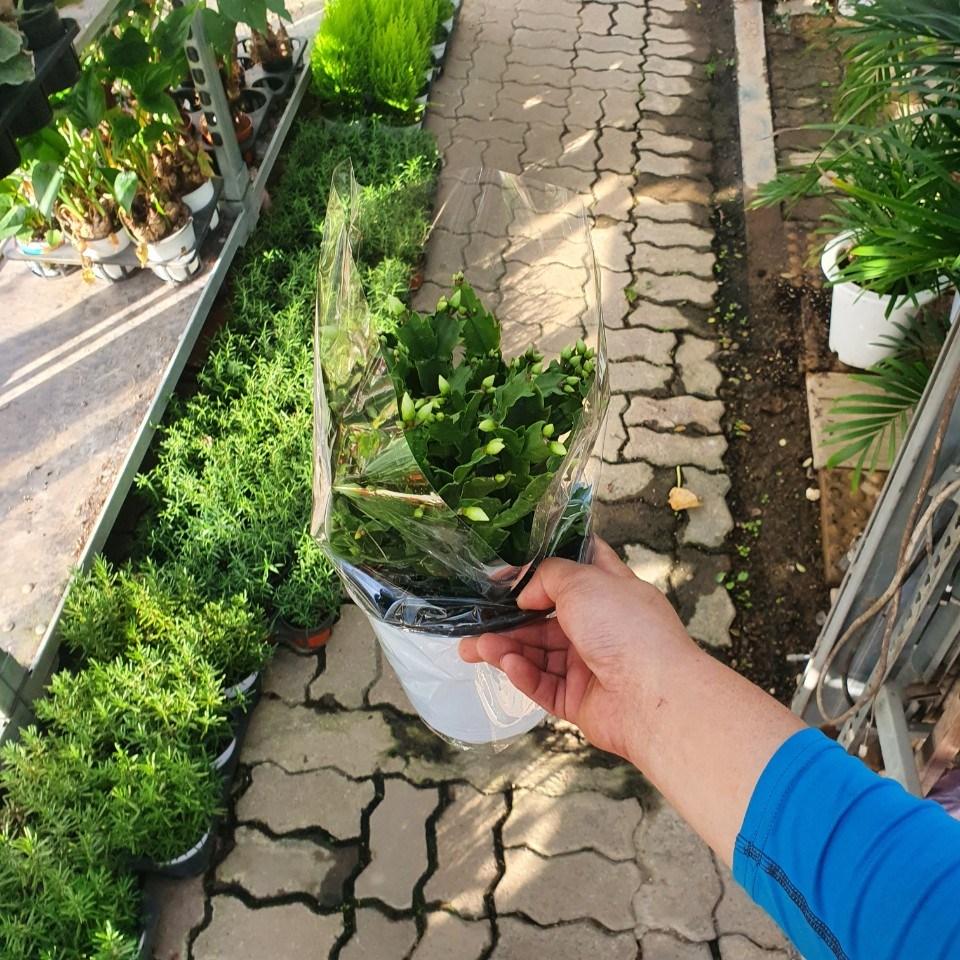 게발선인장 중품 흰색 화이트 반려식물 선인장 다육식물 30~50cm 99