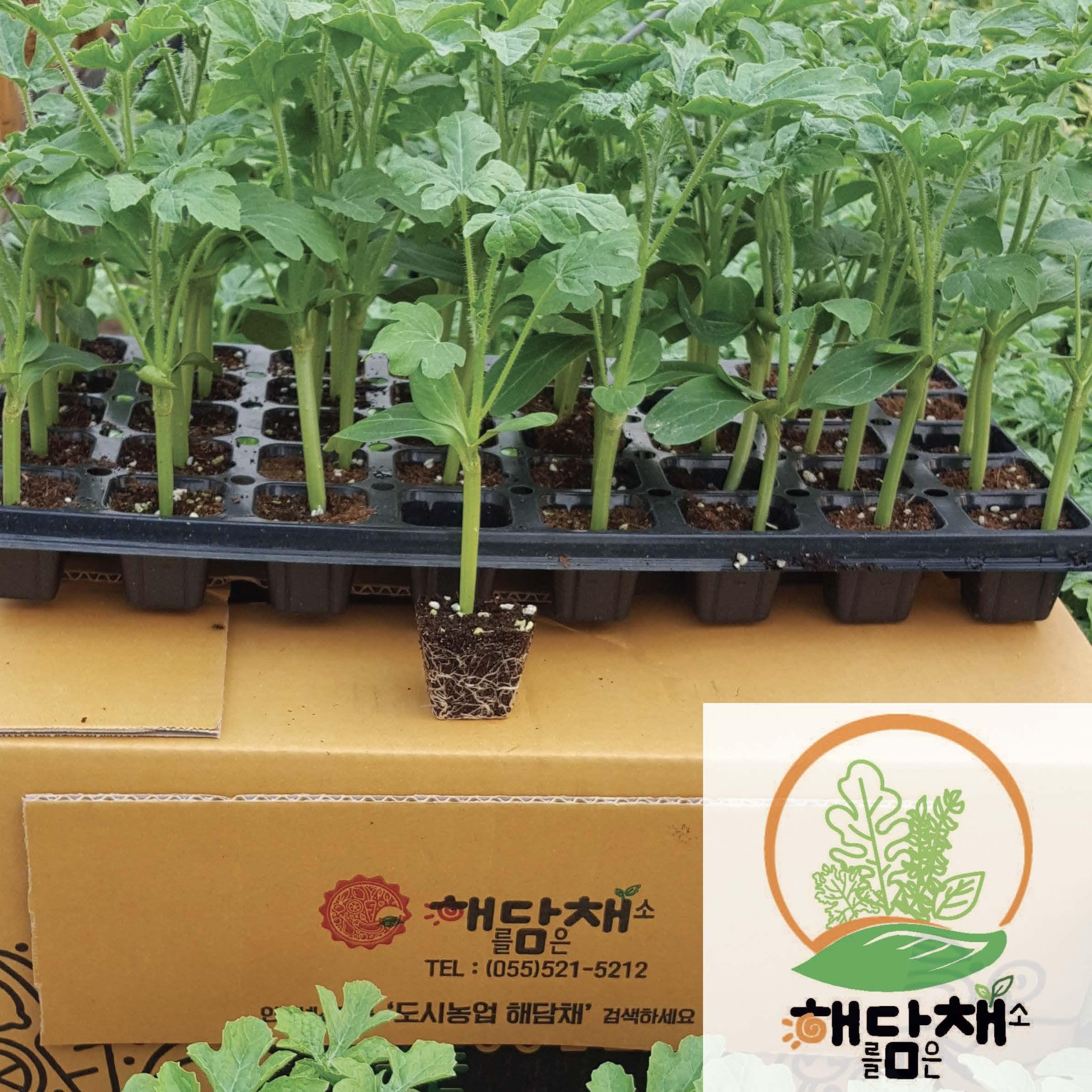수박접목모종10포기