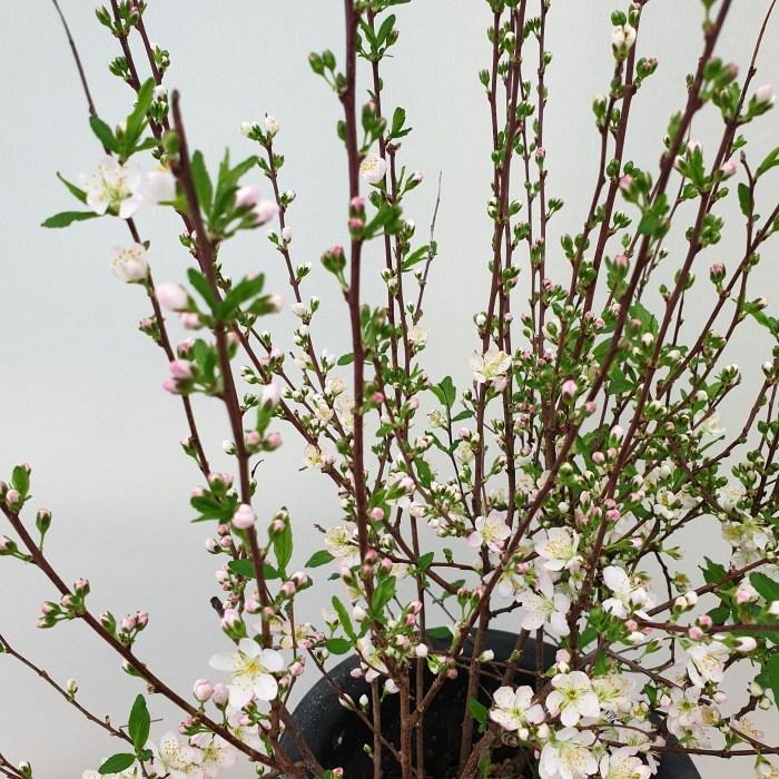 [용이네 화원] 올망졸망 산앵두 나무 250