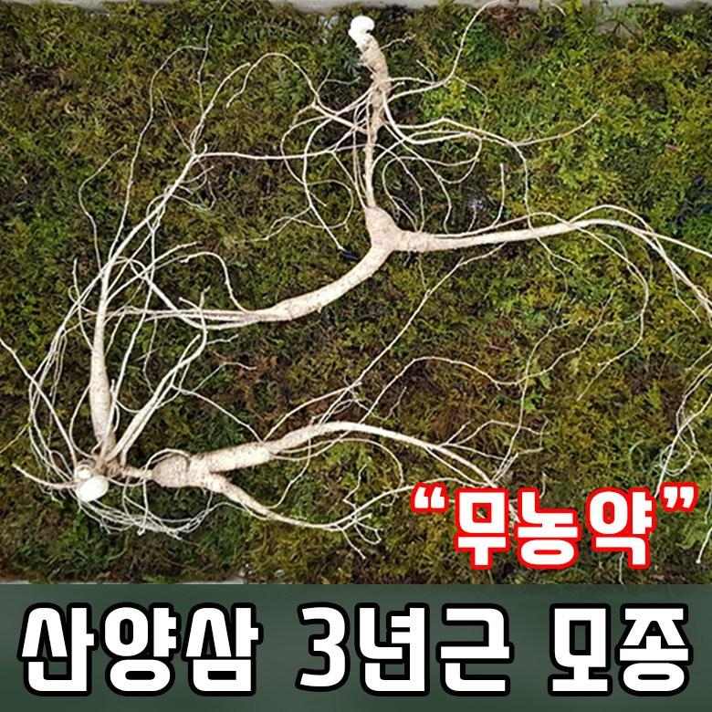 산양삼3년근모종 산양삼모종 삼모종 장뇌삼 산양삼3년근 산삼 인삼 모종  산양삼(소망)인삼뿌리모종(묘삼40개)화천산약초 삼나물