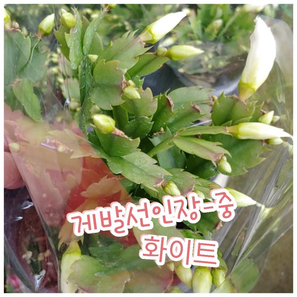 꽃나라엘리스 게발선인장(화이트)-중-겨울에 꽃을 피우기에 크리스마스선인장