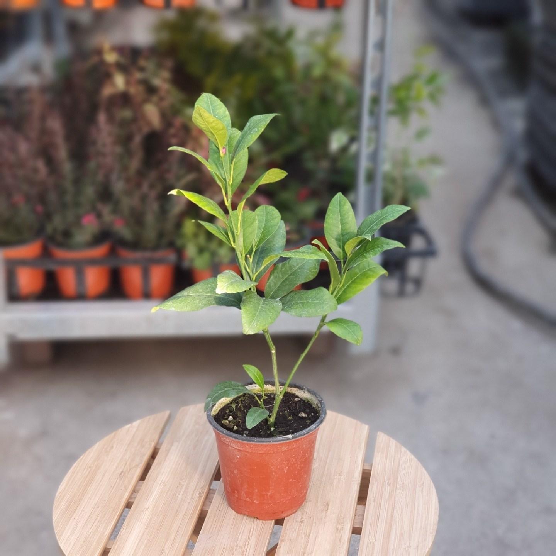 [나인에잇틴]토종국산 레몬나무 45