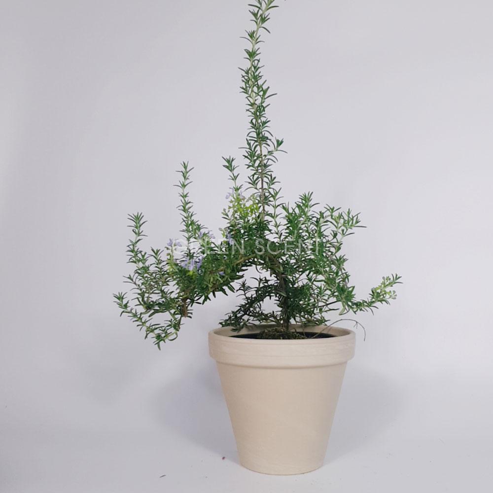 꽃피는 클리핑 로즈마리 중품 대품 키우기 거실인테리어식물 실내공기정화식물, 중품 모종화분