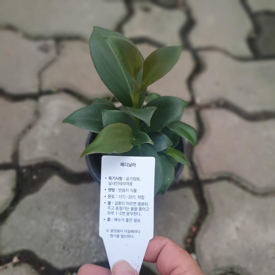 메디닐라 야생화 반려식물 15~30cm 89