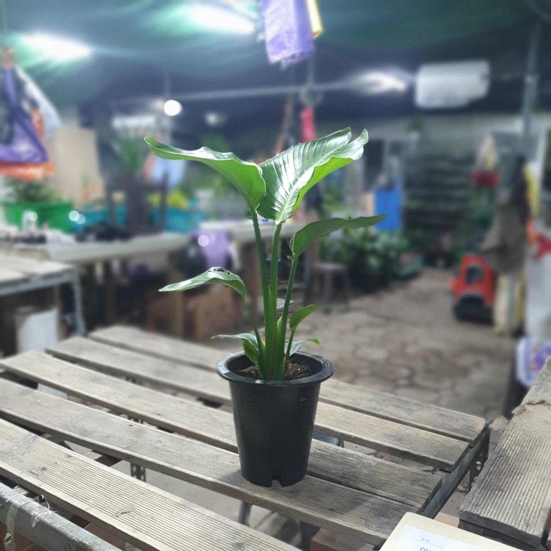 꽃백화점 극락조 여인초 중대품 공기정화식물 50~80cm 139