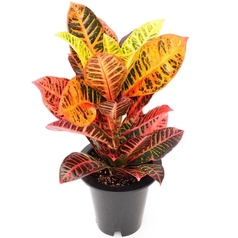 아침향기 공기정화식물 중형 대형 화분, (중형) 크로톤, 1개