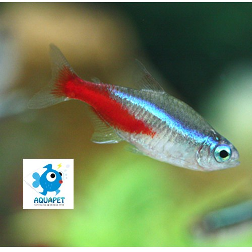 [아쿠아펫열대어]네온테트라 20마리 아쿠아펫 물고기 3만원이상주문시 사은품증정, 1개