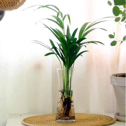 고미플라워 공기정화식물 수경재배 3종 - 스노우사파이어 아레카야자 셀렘, 아레카야자+유리화병