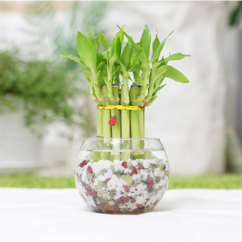 그린테라피 미니 푸딩 개운죽 행운목공기정화식물 미세먼지, 오색