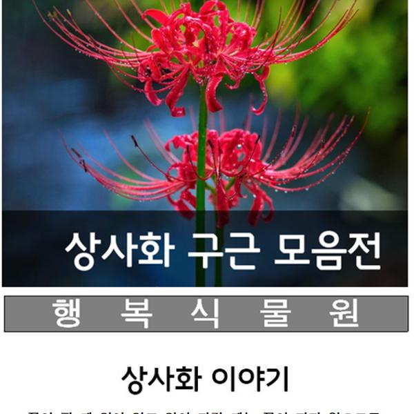 행복식물원 꽃무릇(석산)상사화구근, 100개
